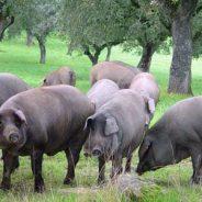 Iberico Fresh Pork Meats